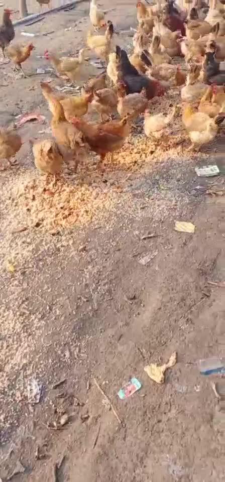 老母雞散養江漢土雞一年以上疫苗齊全