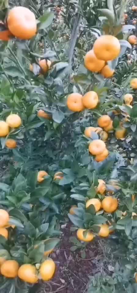 湖北蜜桔,丑橘,蜜柚,碰柑,脐橙产地大量供货。