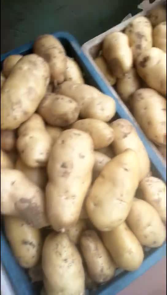 山东荷兰土豆产地13864964308