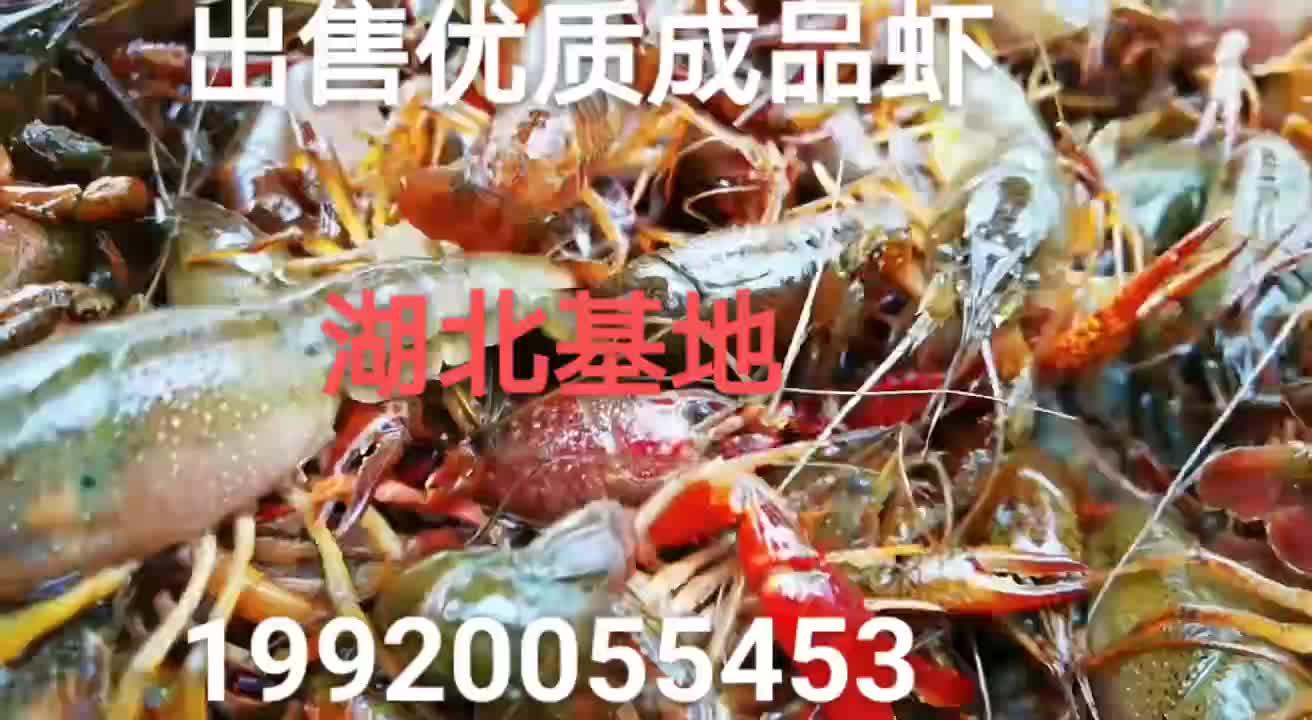 出售成品小龍蝦,蝦苗