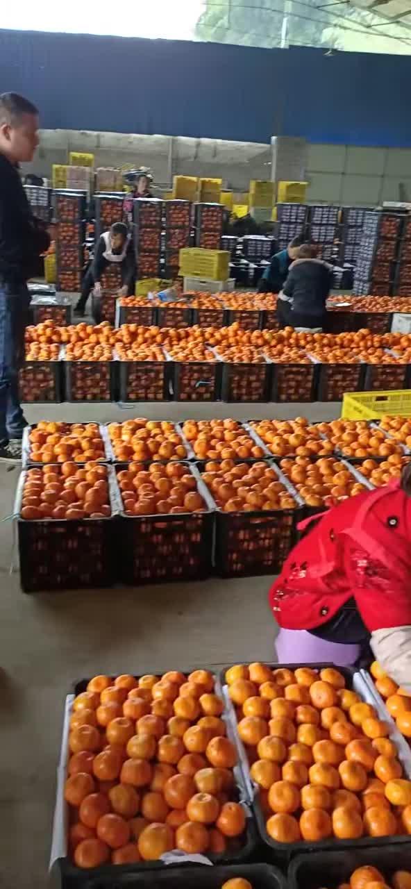 湖北宜昌蜜桔,丑橘,蜜柚,碰柑,脐橙产地批发。