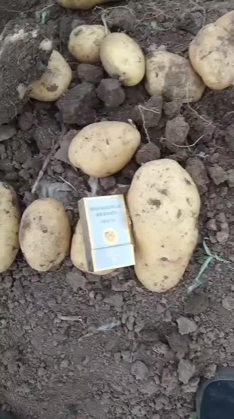 辽宁凌海土豆货源充足