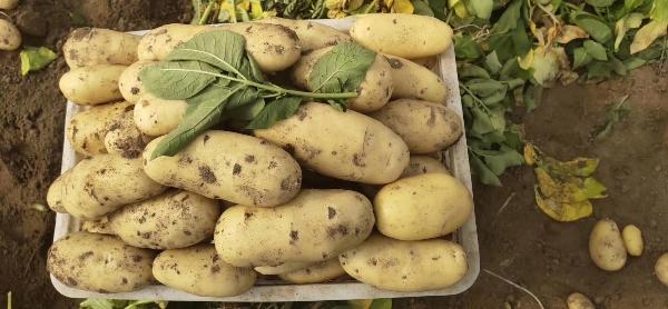 荷兰黄心土豆