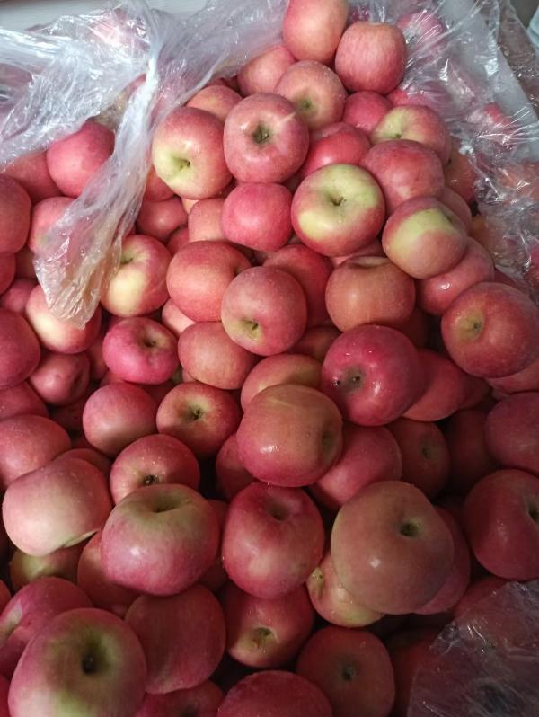 山东苹果13954996619山东红富士苹果销售
