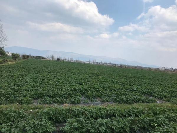 青薯95月开挖和400亩