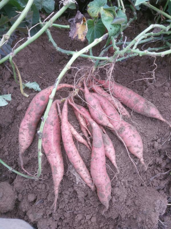 種薯:紅皮紅心煙薯25高代種薯純麥茬種植