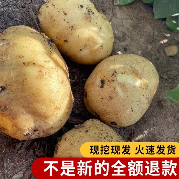 东北土豆 尤金土豆 牡丹江产地直发 常年有货  品质保证