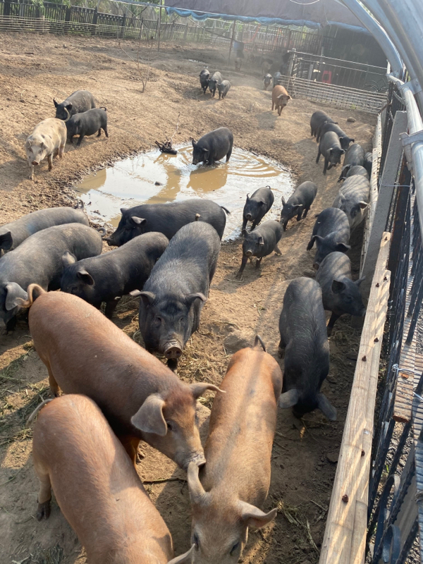 山東省青島市常年出售散養黑豬