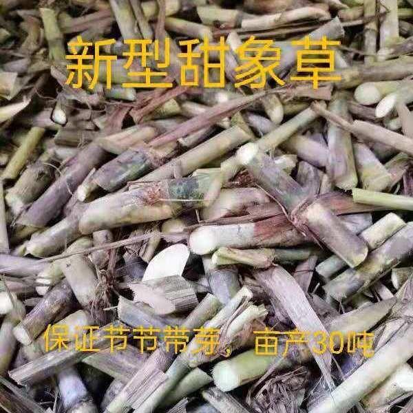 甜象草种节、皇竹草种节,多年生牧草种子