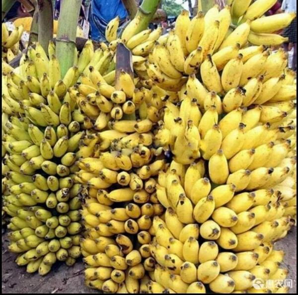 苹果粉蕉,西贡香蕉苗,抗病毒香蕉苗,金粉一号