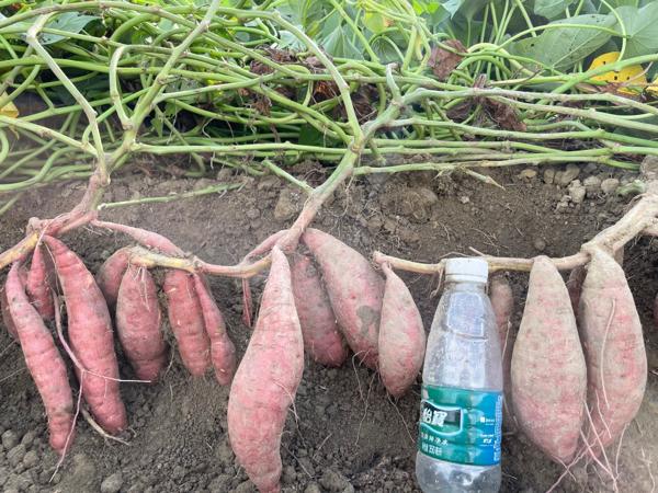 西瓜紅番薯