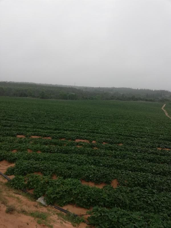 海南文昌翁田鎮地瓜西瓜紅種植基地。