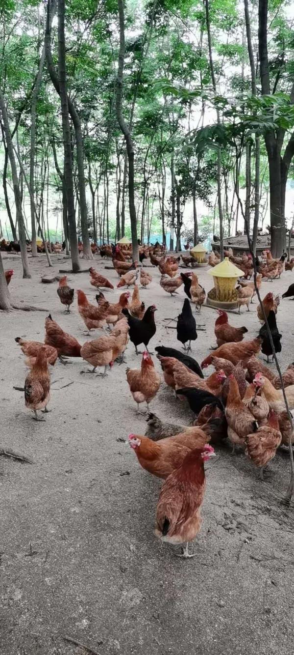 土雞老母雞正宗散養土雞疫苗齊全