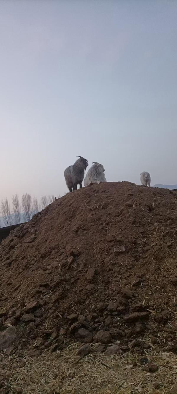 出售綿羊肉,山羊肉