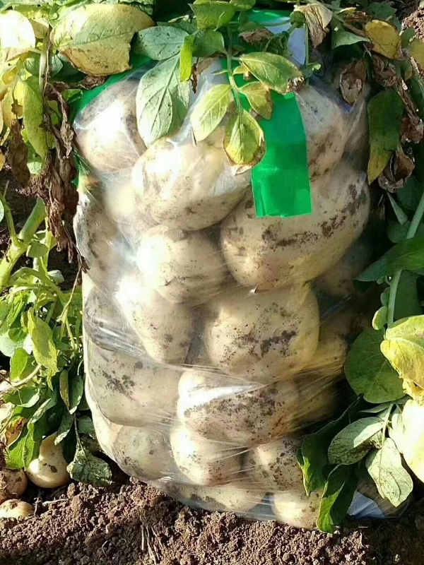 供应土豆,辽宁省绥中县6-7-8月份大量上市,