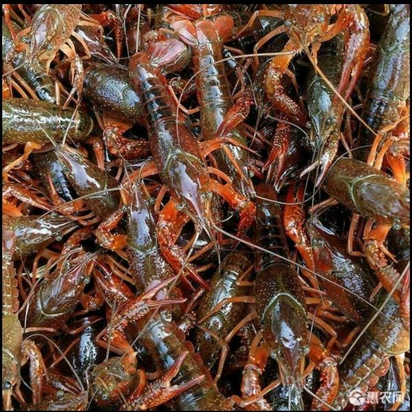 湖北精品小龍蝦誠信規格可以指定規格小中大青小中大紅