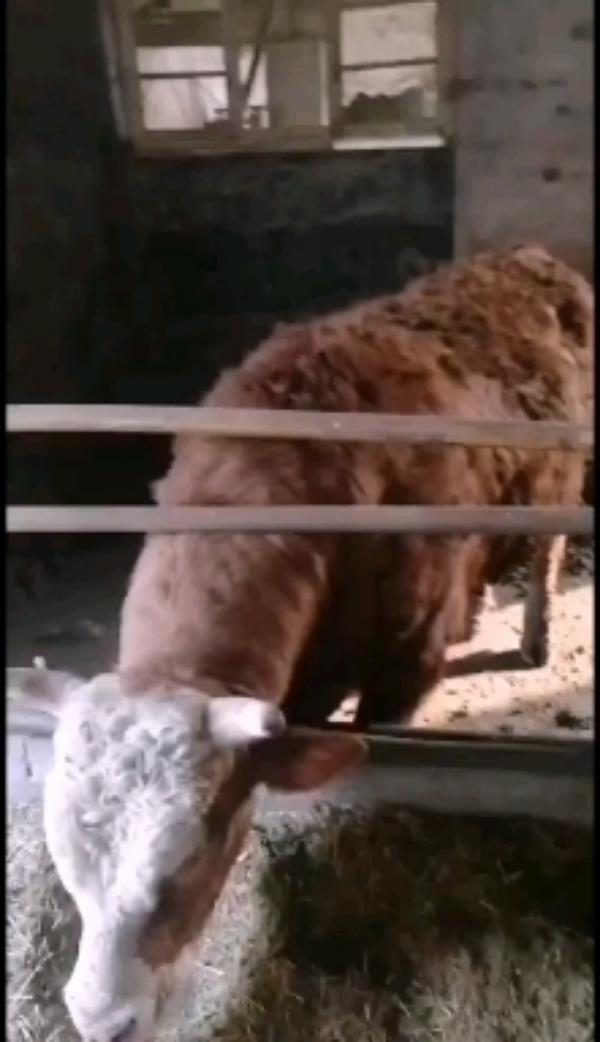 山東省鄒平市長期出售西門塔爾肉牛