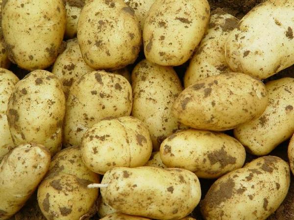 今日山东土豆价格/土豆批发基地/荷兰土豆哪里种植