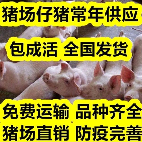 【三元仔豬】育肥仔豬大量批發15263361626