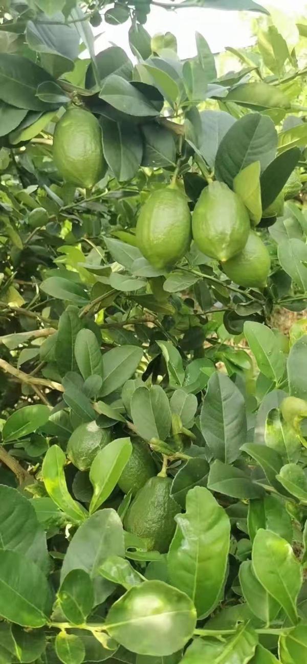 广东香水柠檬一级果,无籽,2-3两/只