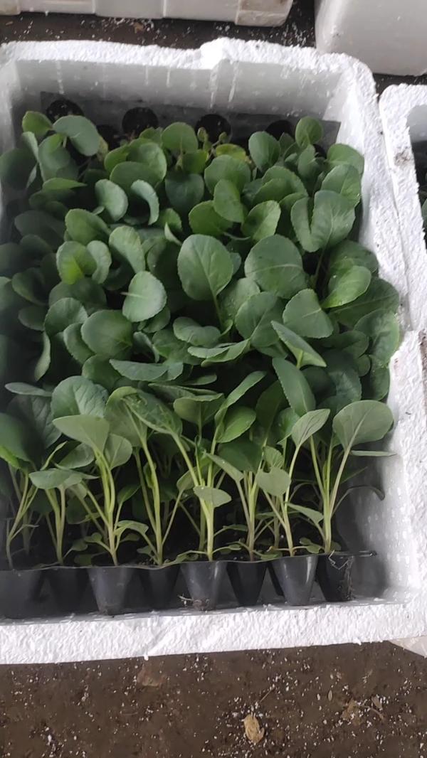 优质早熟小米松花菜苗,西兰花苗,辣椒苗。