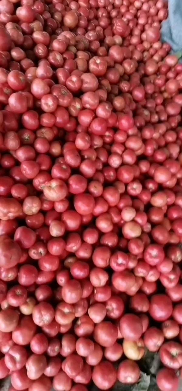 冷棚硬粉西红柿一手货源,产地直发量大好上货