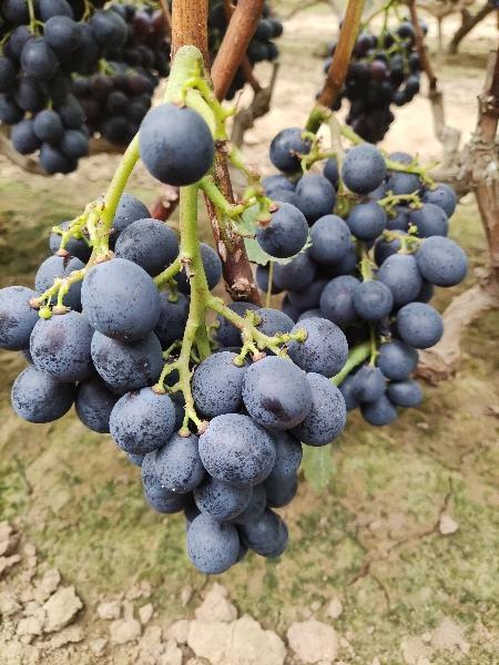 黑宝葡萄熟了,欢迎大家采购