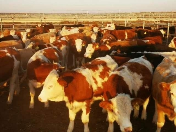 出售大小肉牛13513501266