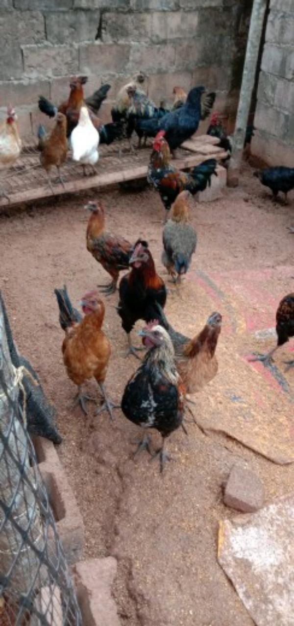 散養土雞,肉黑土烏雞,純屬農產品