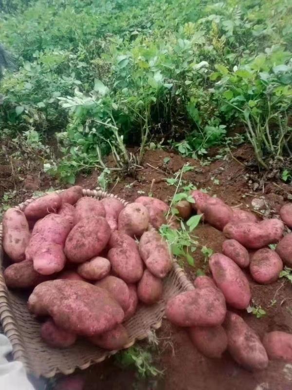 云南彌勒,青暑9號,紅土紅皮黃心土豆