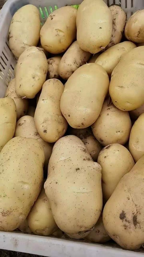 山东荷兰十五土豆批发供应,今日最新价格行情