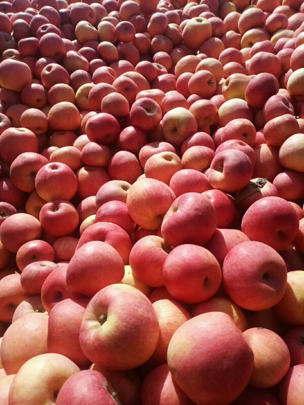 东北冷库寒富苹果大量有货,诚寻有实力销售客商合作