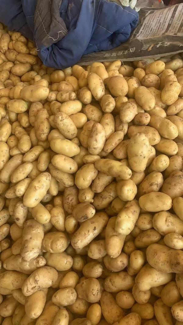 土豆山东优质荷兰土豆15588197372
