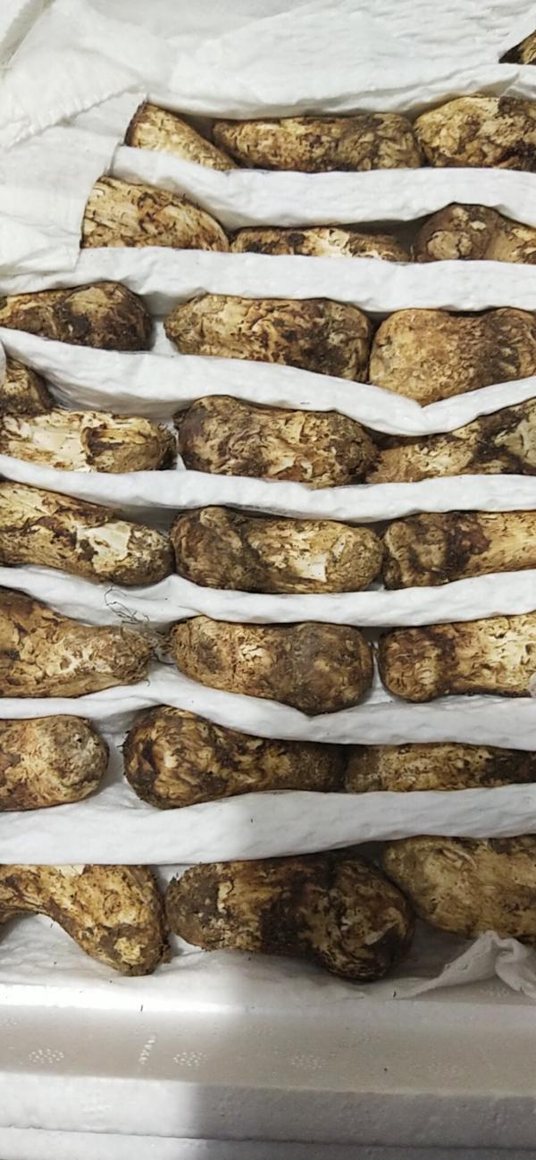 藏区野生松茸 干鲜冻都有  菌类专家