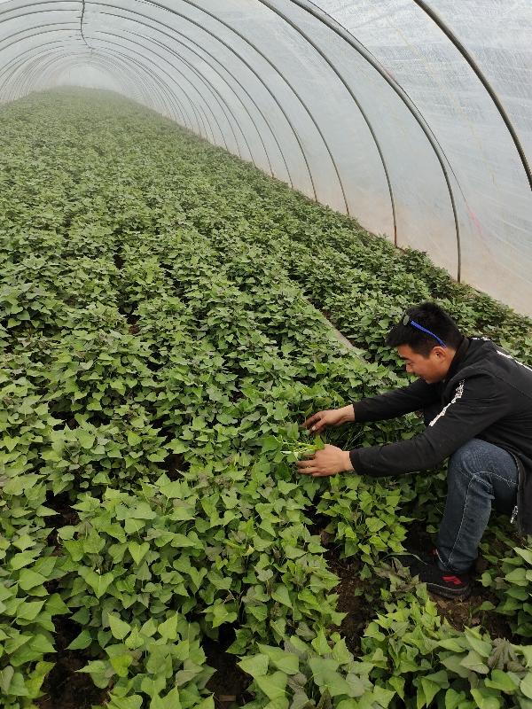 商薯19紅薯苗,脫毒一代高淀粉紅薯苗