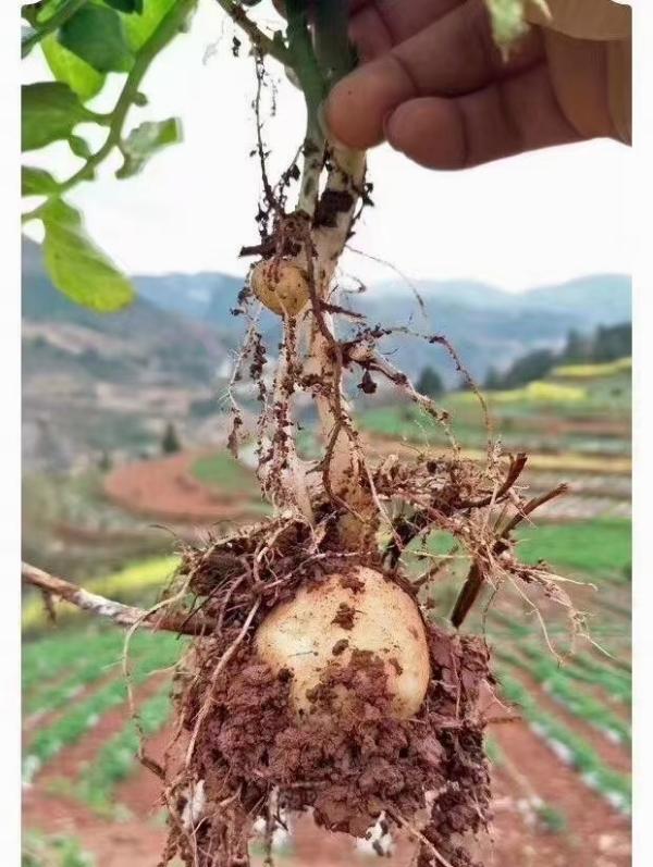 湖北恩施土豆,马尔科土豆,老高山土豆