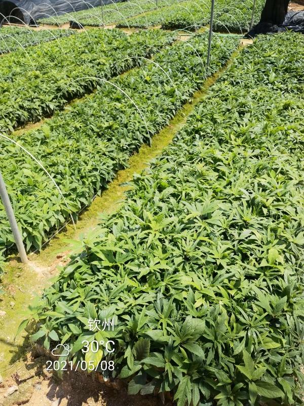 丁家小农业,大量供应,正宗五指毛桃种苗!