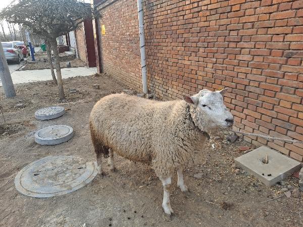 黑頭杜泊,白頭杜泊,綿羊,坐標天津市薊州區尤古莊鎮