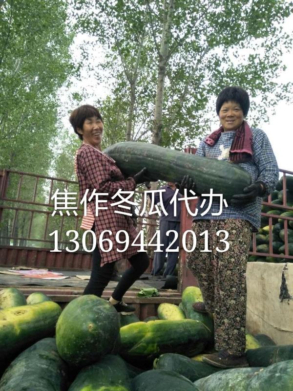 河南焦作沁阳代办专收25斤以上黑皮大冬瓜
