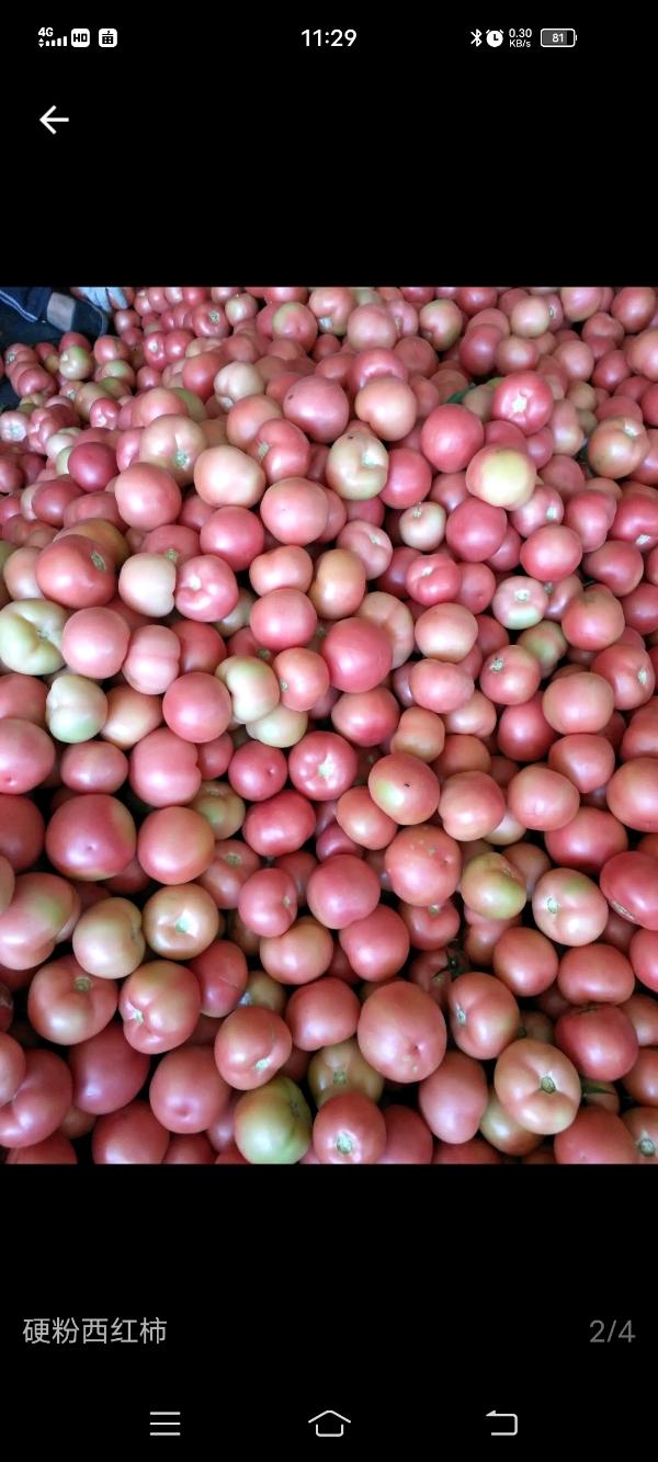 冷棚硬粉西紅柿一叁八叁肆八叁肆武叁七