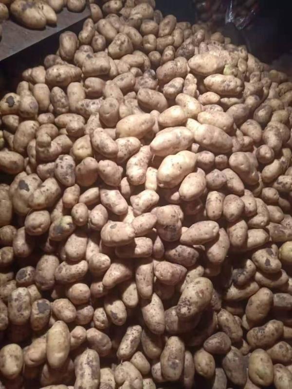 世界土豆看中国,中国土豆看沽源