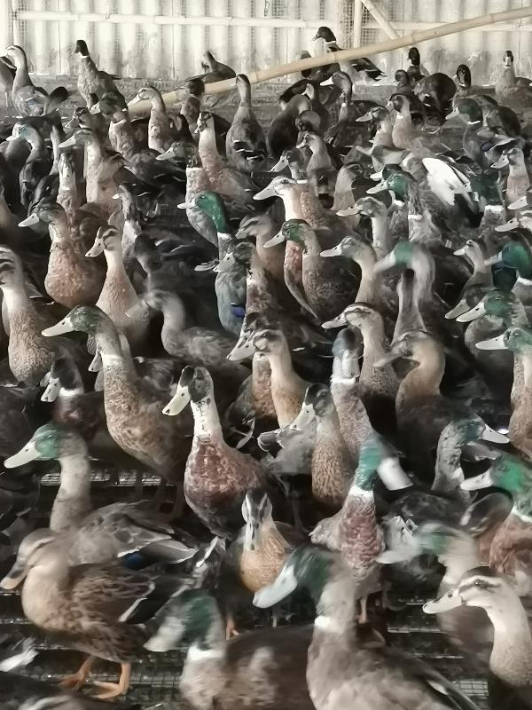 鴨水鴨,麻鴨,本養殖場長期有貨