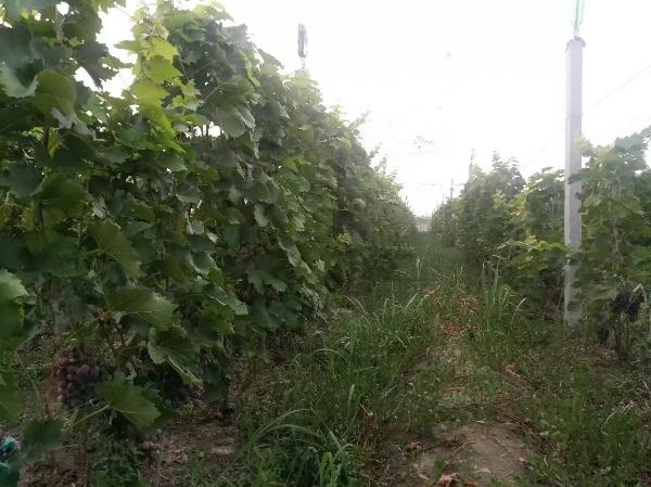 山东东营自然农法有机种植精品玫瑰香葡萄7月中旬成熟