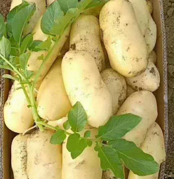 荷兰十五新土豆大量上市,质量保证,全国发货