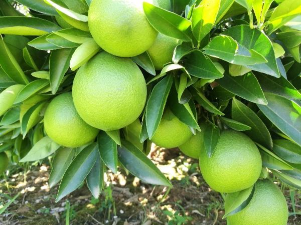 湖南千思农林纽荷尔脐橙苗基地直供脐橙苗木