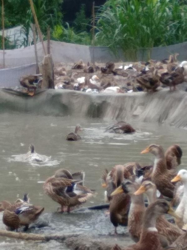 福建省三明市尤溪縣供應肉用麻麻鴨