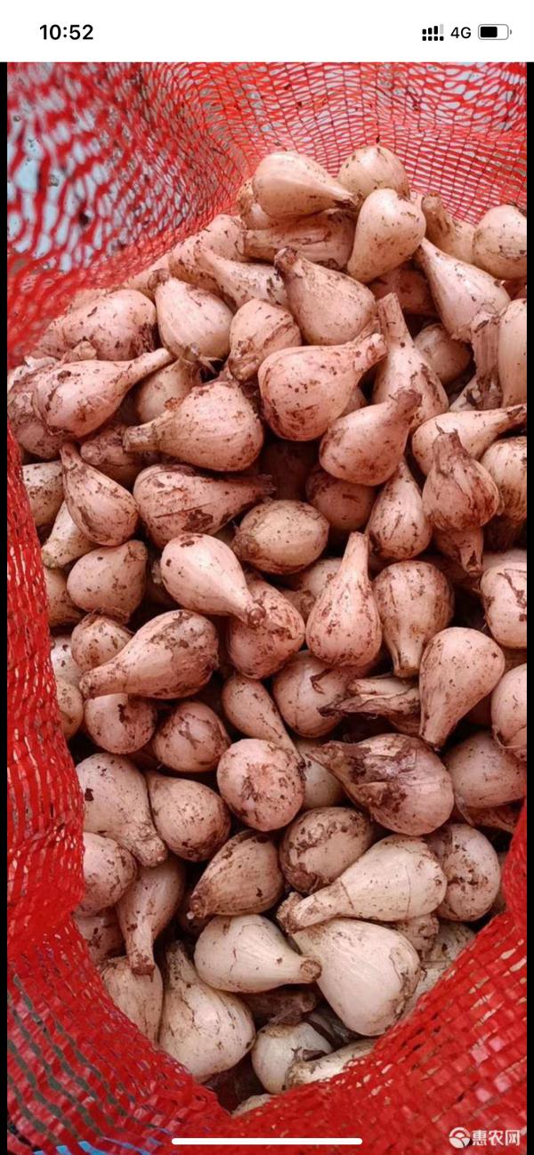 供应藠头,云南高山白衣蕌头产地直供传统种植不打农药