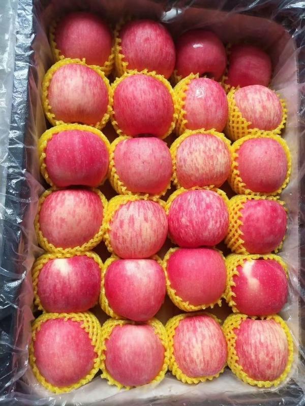 吉县红富士苹果(量产万亩)  纸袋75mm以上